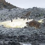 Small Adelie penguin colony